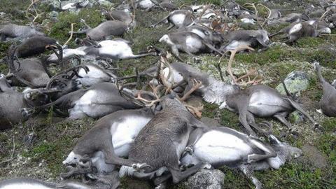 Lightning strike kills 323 wild reindeer in Norway | Fox News